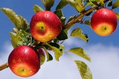 глянцеватое яблок вкусное Стоковая Фотография RF