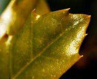 Глянцеватые листья Spikey Стоковая Фотография