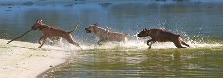 гнать собак Стоковые Изображения RF