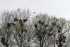 Гнезда ворона в вязании крючком дерева с воронами Стоковая Фотография