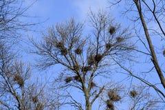 Гнезда ворон на высоких ветвях деревьев падение поздно гнезда птиц Стоковое Изображение