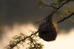 гнездй зяблика Стоковая Фотография RF