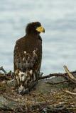 гнездй орла устраиваясь удобно steller моря s Стоковые Фотографии RF