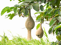 Гнездй птицы ткача Baya Стоковое фото RF