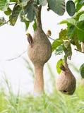 Гнездй птицы ткача Baya Стоковое Изображение