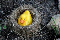 гнездй утенка Стоковая Фотография RF
