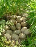 гнездй утки одичалое Стоковое Изображение RF