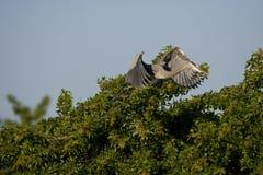 гнездй цапли возвращает к Стоковые Фото