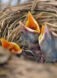 гнездй цыпленоков птиц Стоковое Изображение