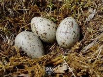 гнездй яичек Стоковая Фотография RF