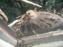 гнездй dove оплакивая стоковое фото rf