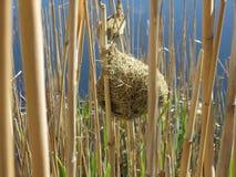 гнездй reeds ткач Стоковые Изображения