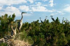 гнездй s цапли колонии Стоковая Фотография RF