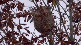 Гнездо азиатских оос среди сухих листьев на дереве сток-видео