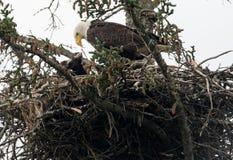 Гнездо белоголового орлана в Аляске Стоковая Фотография RF