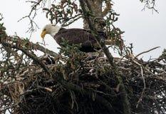 Гнездо белоголового орлана в Аляске Стоковые Фото
