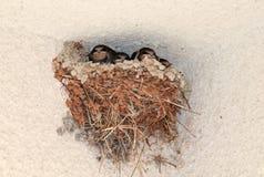 Гнездо ласточки с 4 птенцами стоковые фотографии rf