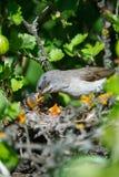 Гнездо меньшего Whitethroat в природе Стоковая Фотография