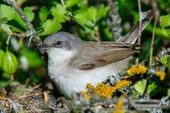Гнездо меньшего Whitethroat в природе Стоковое Фото