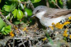 Гнездо меньшего Whitethroat в природе Стоковое фото RF