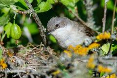 Гнездо меньшего Whitethroat в природе Стоковые Изображения RF