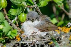 Гнездо меньшего Whitethroat в природе Стоковые Изображения
