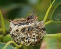 Гнездо младенцев колибри двойное Стоковое Фото