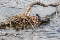 Гнездо простофиль изолированное на воде озера Стоковые Изображения