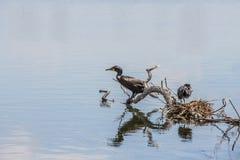 Гнездо простофиль изолированное на воде озера Стоковые Фото