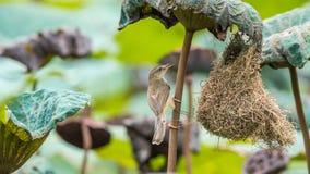 Гнездо птицы строения птицы (простого Prinia) в природе Стоковая Фотография