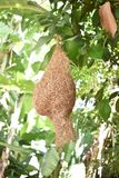 Гнездо птицы ткача очень задний найти, принятый DSLR стоковое фото