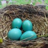 Гнездо Робина с яичками Стоковые Изображения RF
