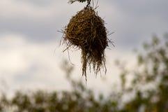 Гнездо смертной казни через повешение птицы ткача от ветви черной акации внутри Стоковые Фотографии RF
