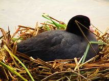 Гнездо с птицей матери Стоковое Изображение