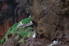 Гнездо чайки на скале в Mykines Стоковое Изображение RF
