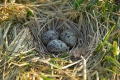 Гнездо черно-головых чаек с типичной муфтой яичек Стоковая Фотография