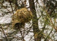 Гнездо ` s птицы на ветви в Masai Mara, Кении Стоковая Фотография