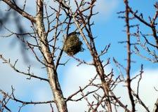 Гнездо ` s птицы на ветви предпосылки неба дерева и нерезкости Стоковое Изображение RF