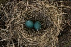 Гнездо ` s Робина с яичками Стоковые Фото