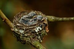 Гнездо vanikorensis Vanikoro Broadbill Myiagra с цыпленоками дальше Стоковое фото RF