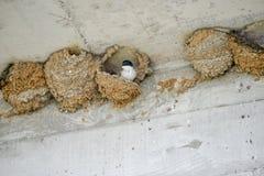 Гнезда ласточек Стоковая Фотография