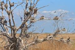 Гнезда баклана в дереве Стоковые Изображения