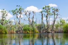 Гнезда баклана в дереве Стоковая Фотография RF