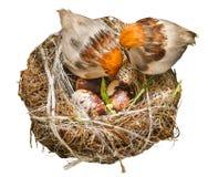 гнезда изолята птиц на белой предпосылке Стоковая Фотография RF