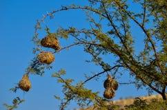 Гнезда птицы ткача Стоковые Фото