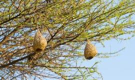 Гнезда птицы ткача Стоковая Фотография