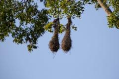 2 гнезда птиц вися на высокорослом тропическом дереве, Minca Стоковые Фотографии RF