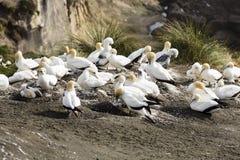 гнездиться gannets Стоковая Фотография