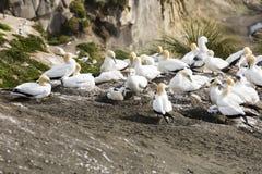 гнездиться gannets Стоковые Фотографии RF