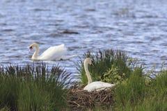 Гнезди безгласного лебедя Стоковая Фотография